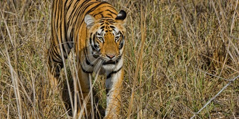 The Royal Beasts of Tadoba